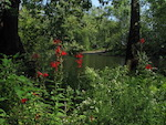 Cardinal flower on the Concord River